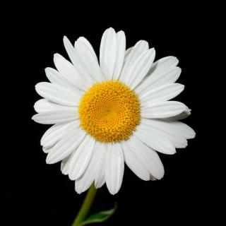 Single oxeye daisy on black background.