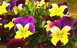 Yellow and purple pansy or viola winter flowers.