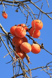 Persimmons ripe and hanging on a leafless persimmon tree.