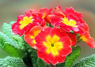 Bright red-yellow primroses bloom in winter.