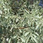 Russian olive tree growing dense and opaque