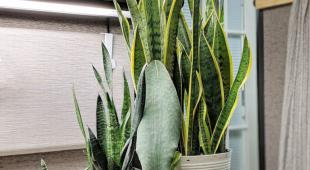 Different sansevieria varieties in pots on a designer kitchen counter.