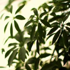 Schefflera, a very easy leaf plant