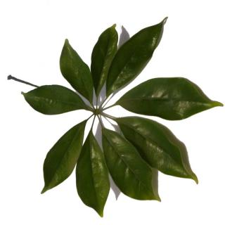A single 9-lobed schefflera leaf on a white background.