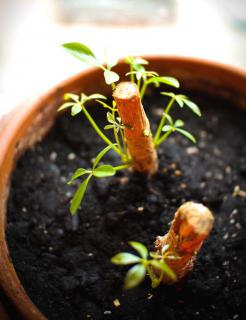 Two cuttings from a schefflera plant sprouting buds in a pot.