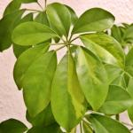Schefflera is a houseplant that requires regular but moderate watering.