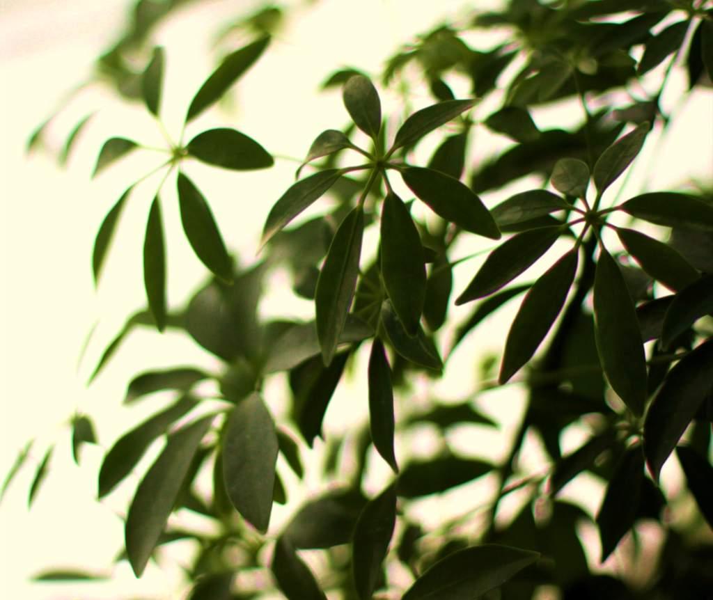 Schefflera, a very easy leaf plant