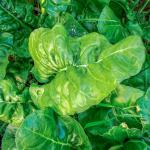 This spinach variety grows large leaves, whereas smaller-leaved varieties also exist.