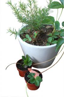 A pot with rosemary and strawberry which is sending off runners, themselves placed in smaller pots and weighted down with small stones.