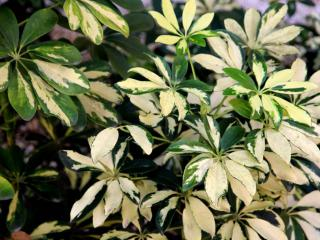 A yellow-white leaved schefflera with spots of green.