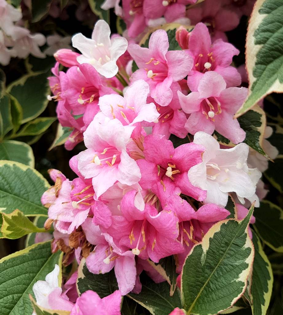 Weigela, magnificent blooming
