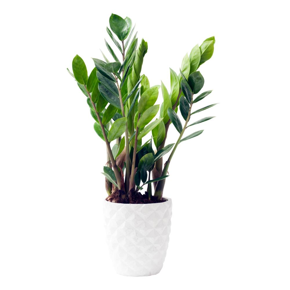 Zamioculcas Advice On Caring For This Thick Leaved Wonder