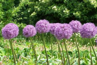 A half-dozen blooming allium floral scapes in a field.