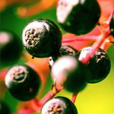 American black elderberry, the Canadian elder