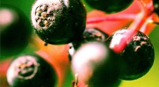 American black elder berries close-up are shiny and deep black.
