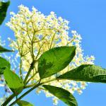 A white flower umbel of the American black elder against a blue sky.