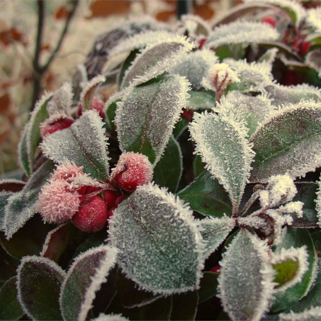 Frost on Gaultheria procumbens berries and leaves.