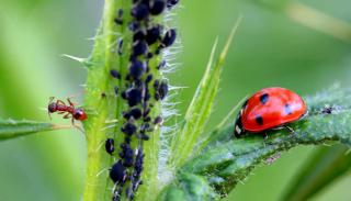 Ants care for aphids while ladybugs eat them.