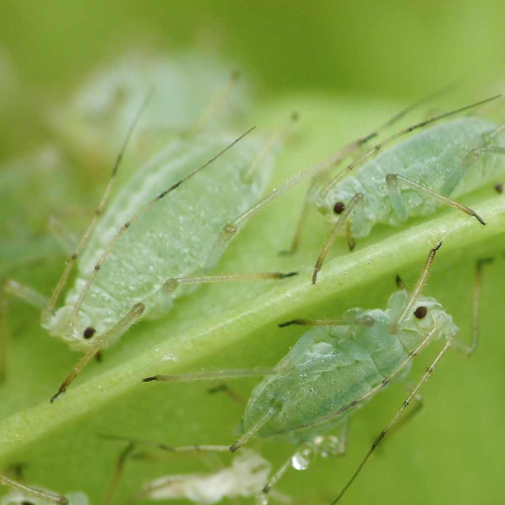 Aphids, how to get rid of them?