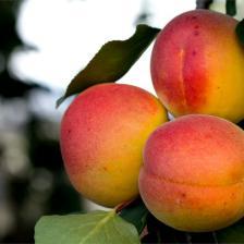 Apricots, little bites of sun