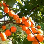 Many fruits are ripening on this apricot branch.