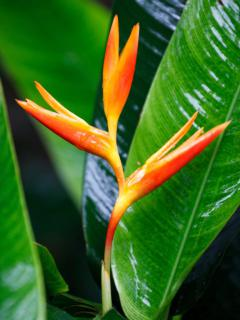 Beautiful balisier flower with thick glossy balisier leaves