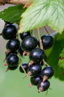 Black currant, also another type of delicious summer berry.