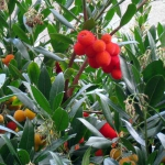 Arbutus unedo, a great and uncommon berry shrub.