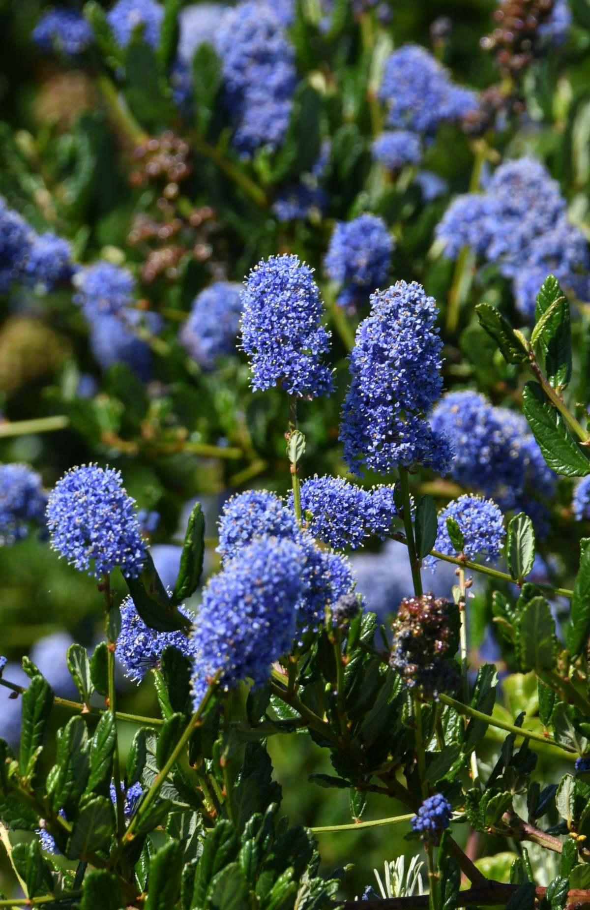 Blue flowers of the soap bush shrub