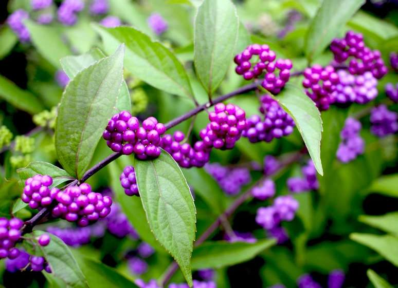 Callicarpa The Candy Tree