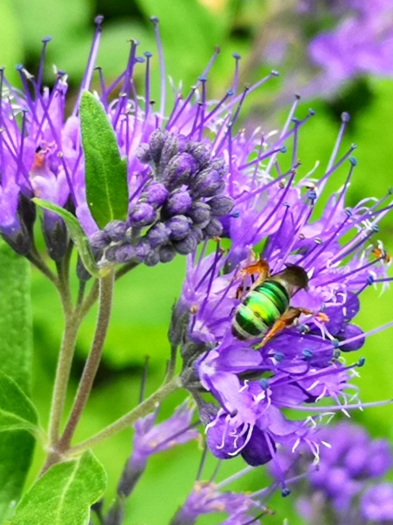 Caryopteris flower close up with a visiting bee.