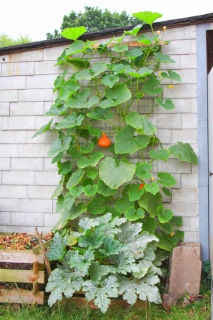 A strong lattice is set up against a wall and red kuri squash is climbing up it with a bright red fruit in the center