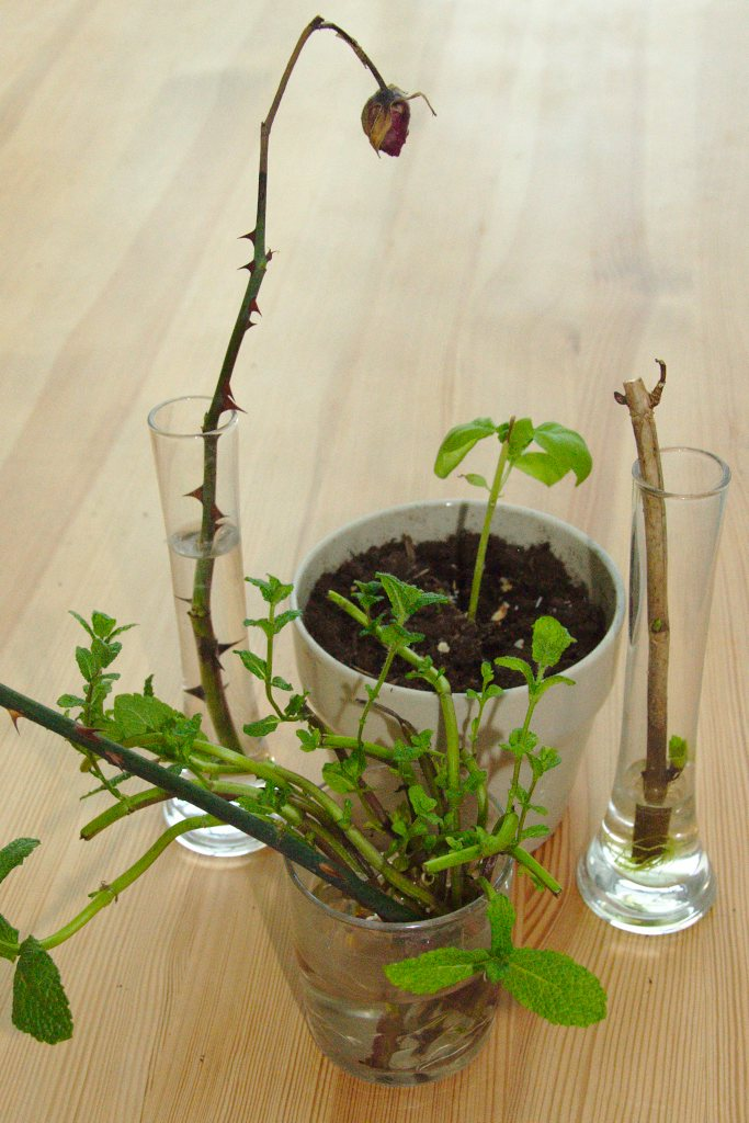 Home-grown mint, rose, hydrangea and basil cuttings in either glass with water or soil mix, on a wooden table.