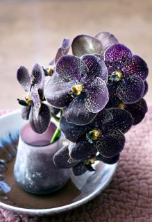Violet-colored cymbidium with starry petals.