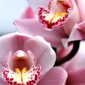 Cymbidium, a superb orchid