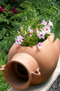 White dipladenia or mandevilla flowers in a terra cotta pot with an opening to the side.