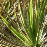 dense lush dracaena marginata leaves
