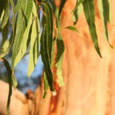Eucalyptus, a tree full of health benefits