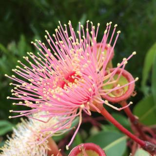 A pink eucalyptus flower unfurls hundreds of needle-like stamens.
