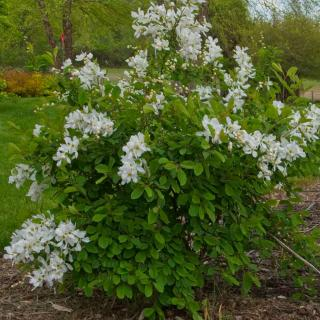 Exochorda shrub grown to four feet after four years with white flowers.