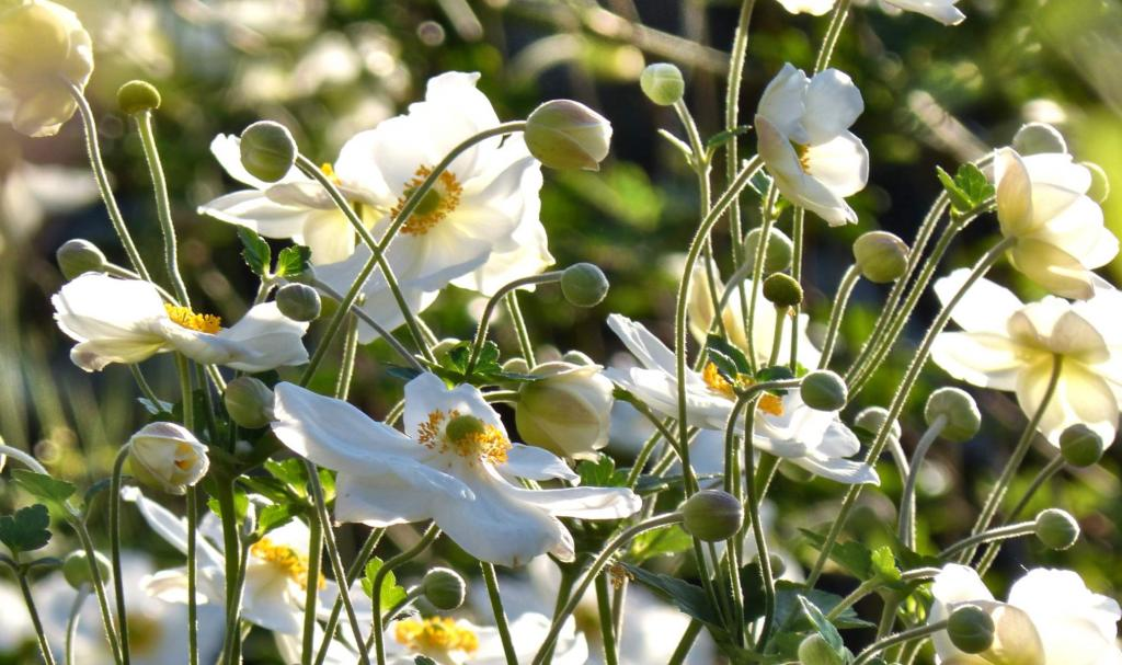 White japanese anemones in a field