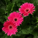 Three beautiful pink 'Sweet dreams' gerbera garvinea flowers with dark green leaves in the background