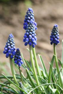 Three beautifully formed Grape Hyacinth flowers
