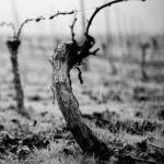 Double guyot grapevine pruning, black & white.