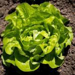 Head of lettuce just about ready for harvest on thoroughly weeded soil.