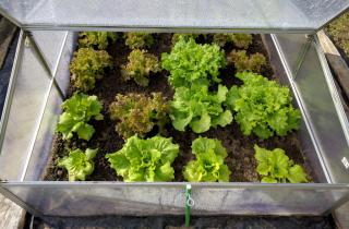 Using a nursery or cold frame helps protect lettuce seedlings at the beginning.