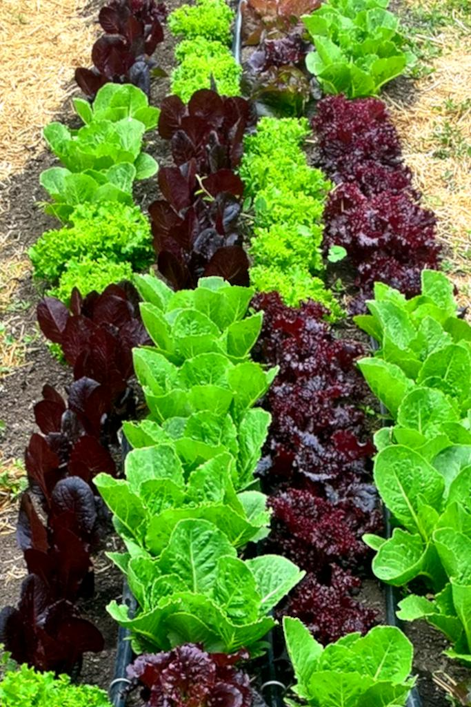 Different varieties of lettuce grown in a checkered pattern.