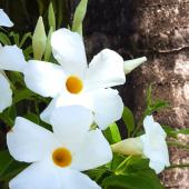 Mandevilla and dipladenia, magnificent sisters