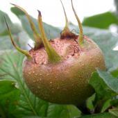 Medlar, a fruit tree to rediscover