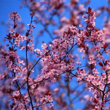 Ornamental apple tree, flowers galore